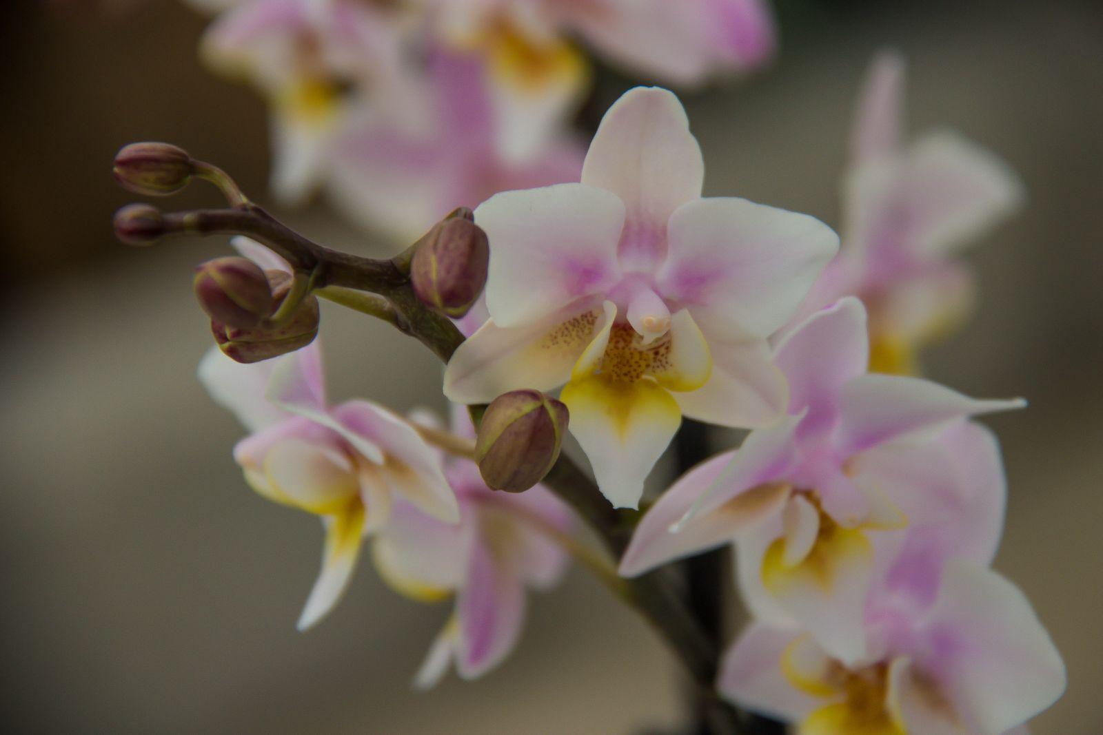 Orkide_vandperler